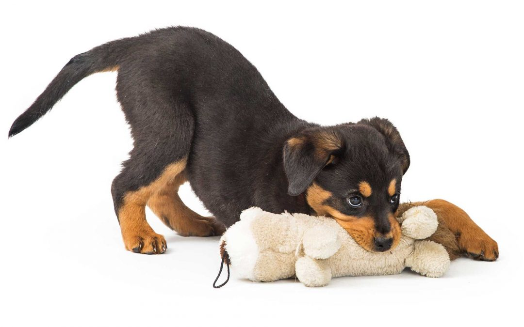 CBD for Puppies – How to care for your teething puppy