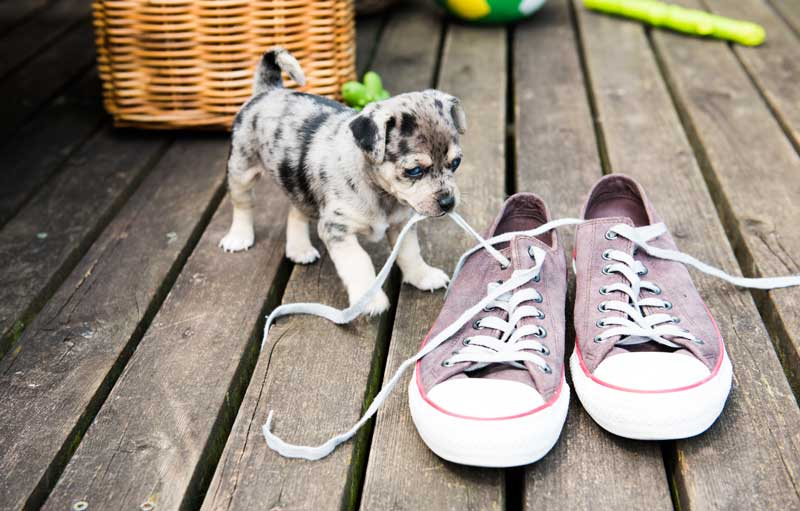 CBD for Puppies- How to care for your teething puppy