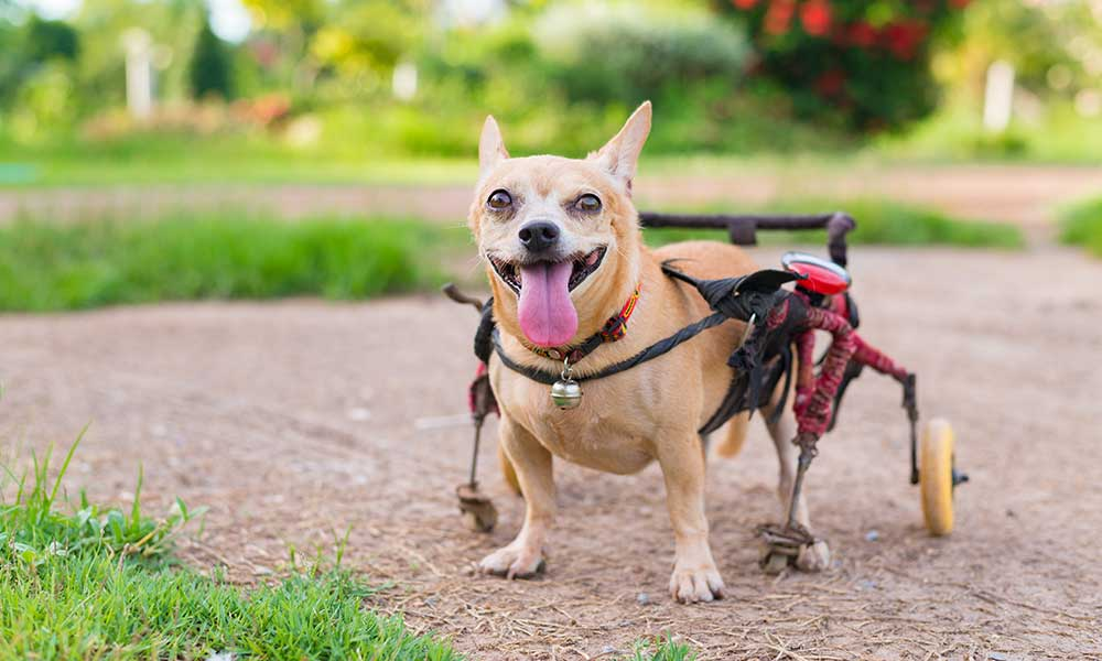 How CBD can help disabled dogs