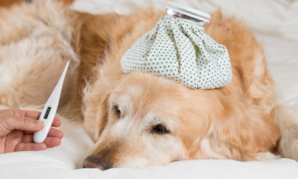 What are Side Effects of Dog Flu Vaccine