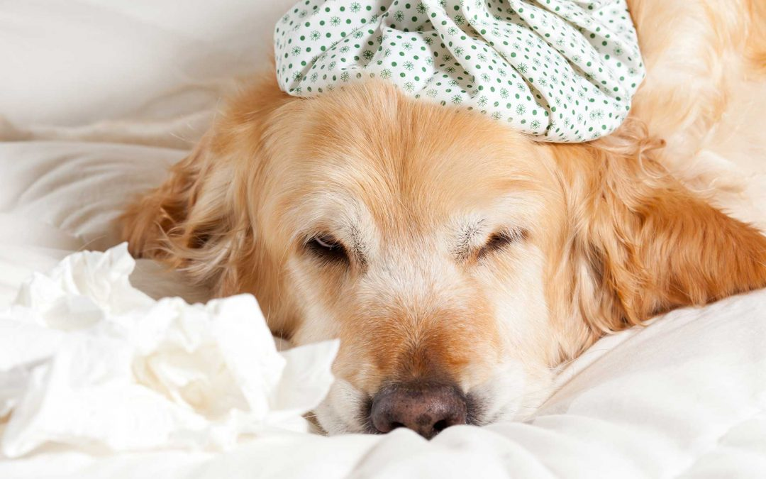 Dog Flu Vaccine and Its Side Effects